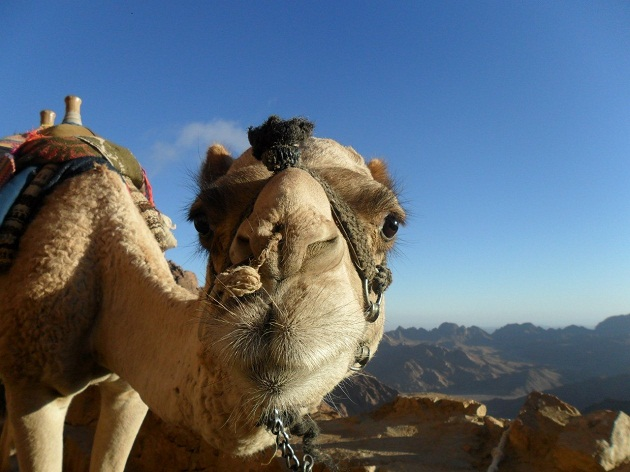 Вы можете созерцать пустыню сидя на верблюде, как настоящий бедуин